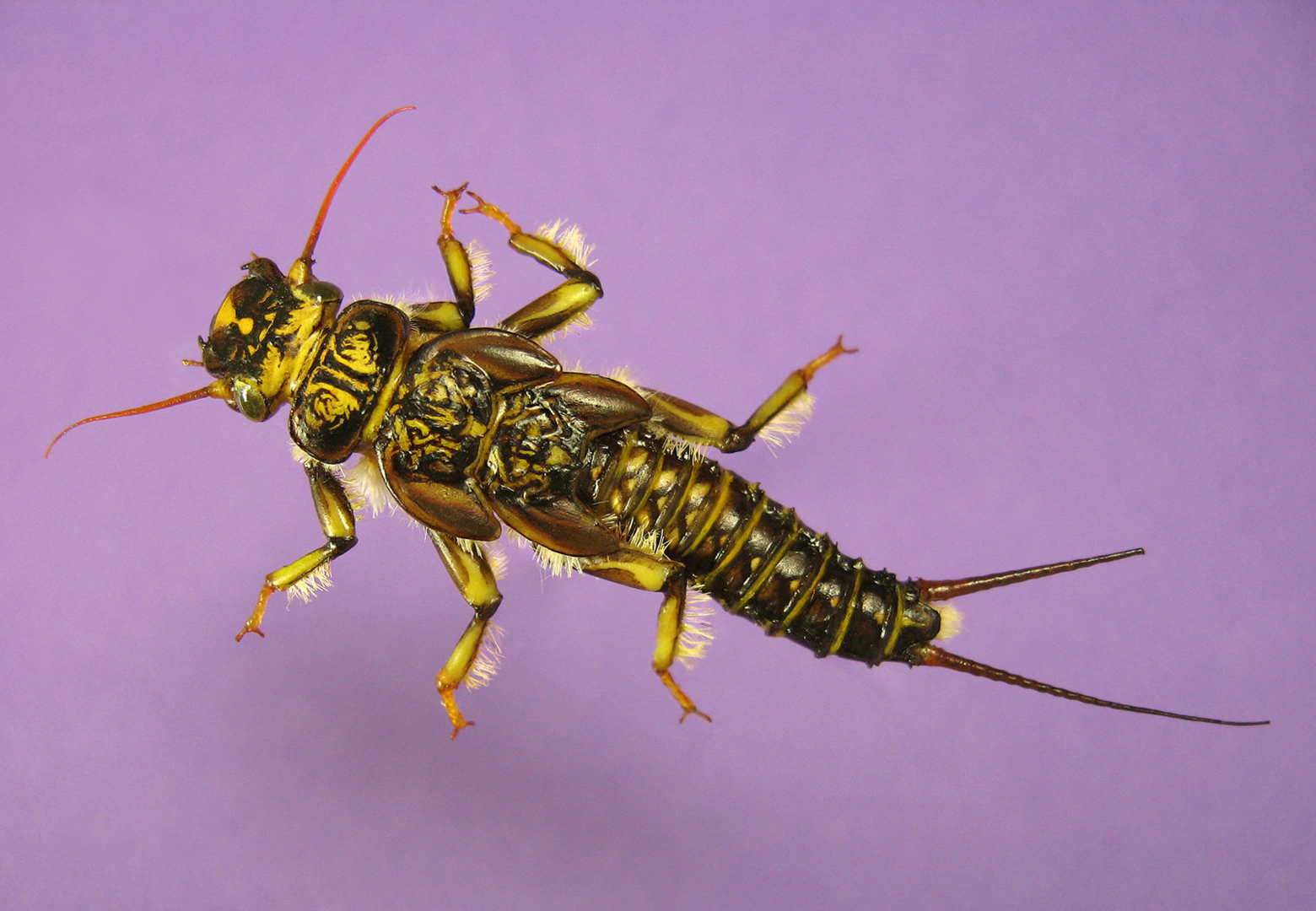 LOGAN-Western-Golden-Stonefly-Nymph
