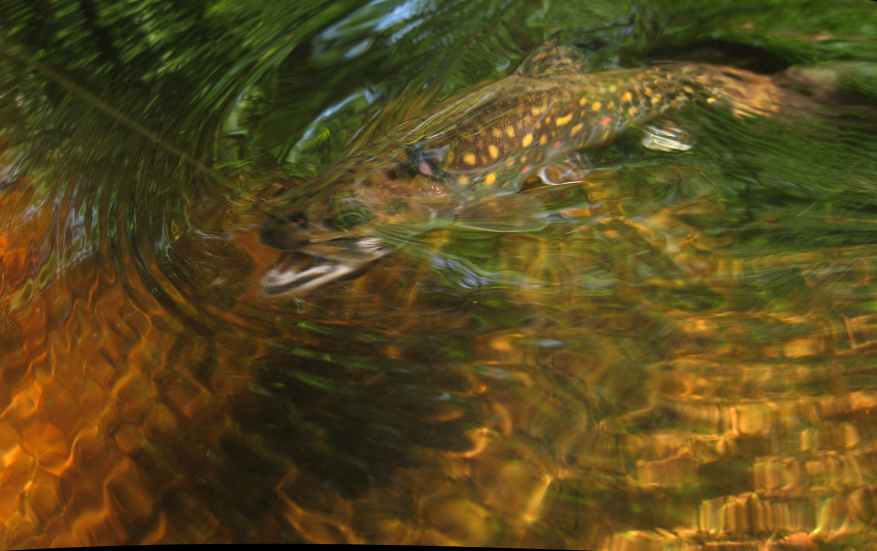 LOGAN BROOK TROUT 4 copy