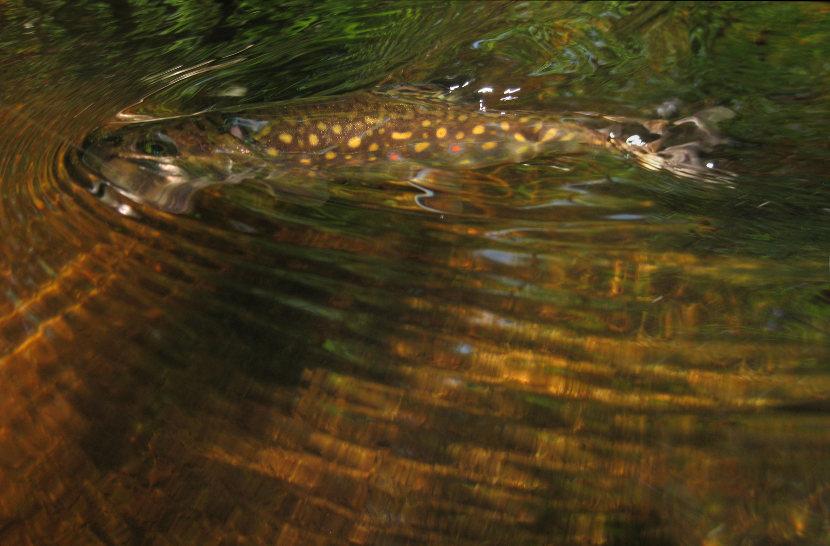 LOGAN BROOK TROUT 5 copy